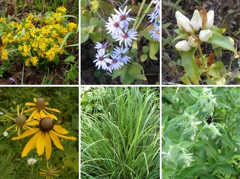 Six common herbaceous plants found in prairie-like openings at Strouds Run State Park