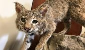Marissa Dyck Works to Preserve Bobcat Roadkill Specimens