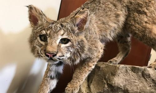 Marissa Dyck Works to Preserve Bobcat Roadkill Specimens