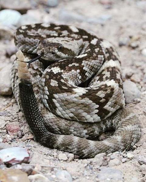 Rattlesnake photo from Chris Parkinson