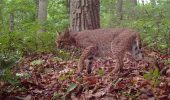 A bobcat is spotted by one of the researchers' camera traps.