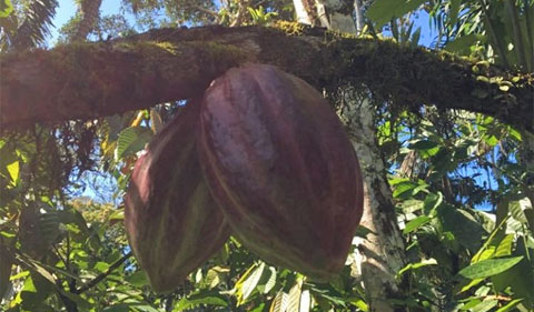 Cocoa pods growing on a branch.