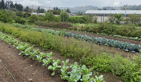 Ecuador vegetable farm, with rows of plants