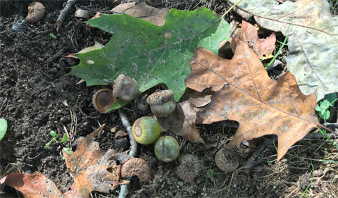 Red oak acorns on College Green.