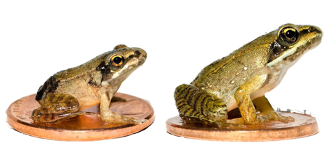 Left: Metamorph from a fast-drying pool. Right: Metamorph from a slow-drying pool. The one on the right is significantly larger.
