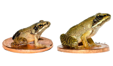 Left: Metamorph from a fast-drying pool. Right: Metamorph from a slow-drying pool.
