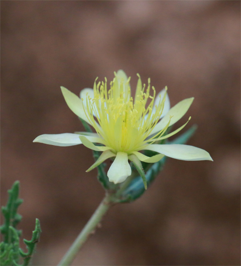 Mentzelia procera, a yellow desert flower